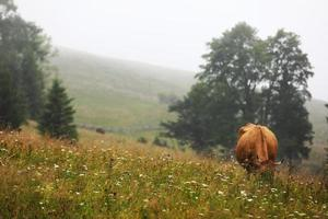Une vache rouge broute dans une prairie d'été avec des montagnes en arrière-plan photo