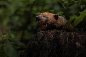portrait de chien de brousse photo