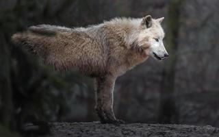 portrait de loup arctique photo