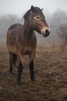 poney exmoor dans le brouillard photo