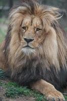 portrait de lion du cap photo