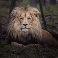 portrait de lion katanga photo