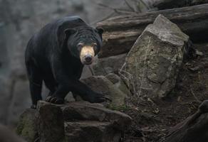 portrait de l'ours du soleil photo