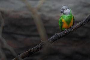 Portrait de perroquet du Sénégal photo