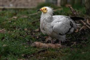 vautour égyptien manger photo