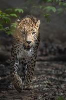 portrait de léopard persan photo