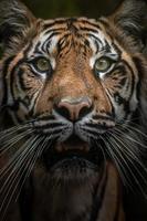 portrait de tigre de sumatran photo