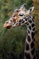 portrait de girafe réticulée photo
