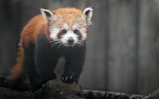 portrait de panda rouge photo