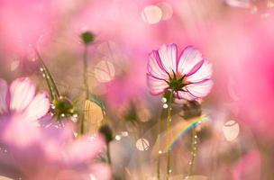 fleurs de cosmos belles photo