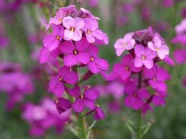 Jolies giroflées violettes roses dans un jardin photo