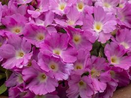 Fleurs roses denses d'hybride primula hallionii photo