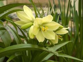 Belles fleurs jaunes de fritillaria raddeana ou couronne naine impériale photo