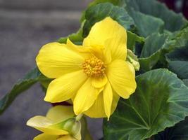 Fleur de souci jaune vif des marais caltha palustris photo
