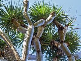 Les branches d'un dragon des îles Canaries dracaena draco photo