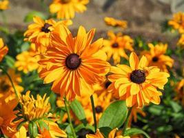 rudbeckia hirta jaune vif variété de fleurs goldilocks photo