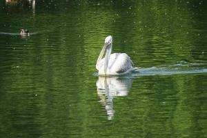 pélican blanc flottant sur la surface de l'eau verte photo