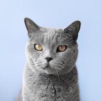 Minou bleu russe avec fond de mur monochrome photo