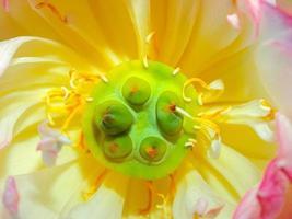 fleur de lotus dans la nature photo