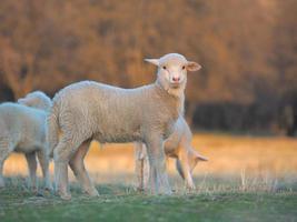 jeune agneau curieux à la ferme photo