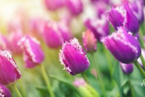 champ de tulipes colorées photo