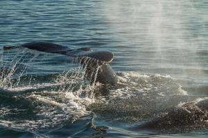 la queue d'une baleine à bosse en plongée photo