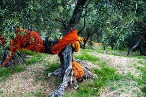 préparation de la récolte des olives photo