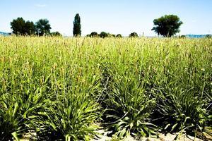 Rangées de plantes aromatiques Plantago lanceolata, Ombrie, Italie photo