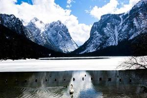 cygne sur le lac gelé de dobbiaco photo