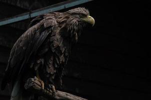 Aigle à queue blanche adultes gros plan aigle ukrainien photo