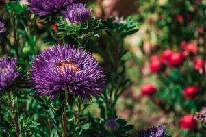gros plan de fleur violette photo