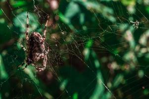 grosse araignée croisée femelle sur le web photo