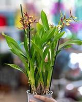 paphiopedilum venus pantoufle orchidée gros plan photo