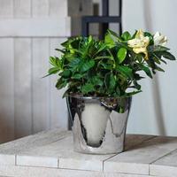 La belle plante à fleurs de gardénia dans le pot brillant photo
