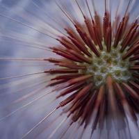 belle graine de fleur de pissenlit au printemps photo