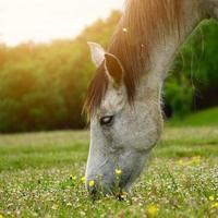beau portrait de cheval blanc dans le pré photo