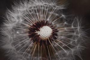 belle graine de pissenlit au printemps photo