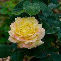belle fleur rose jaune au printemps photo