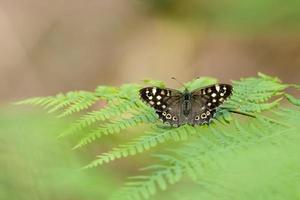 Petit papillon sombre est assis sur la fougère en face de l'arrière-plan flou vert photo