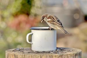 Moineau avec des graines de tournesol dans son bec se trouve sur le bord d'une tasse en étain sur un arrière-plan flou photo