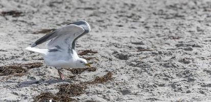 Goéland argenté vole au-dessus de la plage de sable de la mer baltique avec des vagues photo
