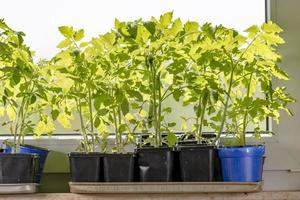 Les jeunes plants de tomates en pots sont debout sur un rebord de fenêtre photo