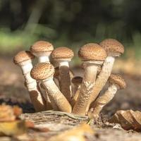 Un groupe de jeunes champignons hallimasch dans le feuillage avec arrière-plan flou photo