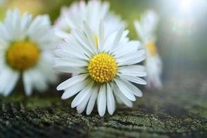 Belle fleur de marguerite blanche dans le jardin au printemps photo