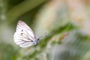 papillon blanc volant devant un fond vert flou photo