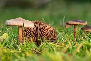 Petits champignons lamellaires gluants bruns sur la pelouse photo