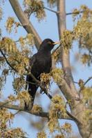 Blackbird mâle est assis pelucheux sur un arbre avec de jeunes pousses photo