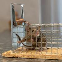 Petite souris est piégée dans un piège à fil contre l'arrière-plan flou photo