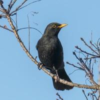 Blackbird mâle est assis sur un arbre avec de jeunes pousses photo