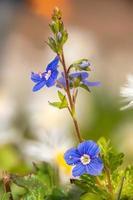 Vue détaillée des fleurs de l'usine véronique véronique photo